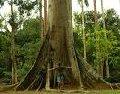 Fotos e textos de Árvores brasileiros