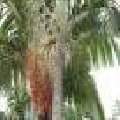Archontophoenix alexandrae (palmeira da rainha)
