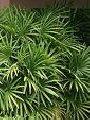 Raphis excelsa (palmeira-ráfia)
