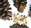 Sementes de Pinus (espécies tropicais)