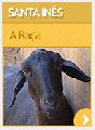 Ovelhas de raça Santa Inês