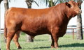 Touro Red Angus