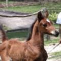 Cavalo Lumiar Yllannah