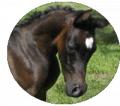 Cavalo Lumiar Thibethana