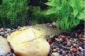 Креветки тихоокеанские