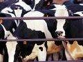 Скот крупный рогатый племенной (КРС)