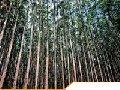 Celulose de eucalipto