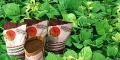 Calopogônio - pastejo em consorcio ou banco de proteina, adubação verde.