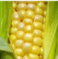 Milho - cultura do milho tem grande importância para o Brasil.