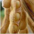 Soja - cultura da soja esta presente nos plantios da Arakatu como uma cultura de grande importância.