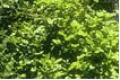 Agrião é uma planta perene nativa da Europa e da Ásia, cultivada e naturalizada no Norte e Sul da América e no Oeste da Índia.