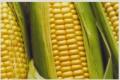 Semente de Milho Cati Verde