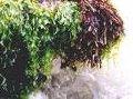 QUIDGEL BRM (extrato estabilizado de três algas marinhas)