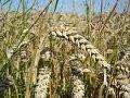 Пшеница,рис,рожь