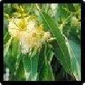 LIPOMOL GREEN OEG - Óleo Eucalipto Glóbulus