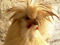 Colecionador de galinhas de SP monta granja que vende ovos galados
