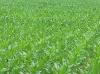 Agricultores dobram a área de cultivo do milho safrinha no MA