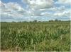 Agricultores do sul do CE perdem toda produção por causa da seca