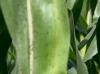 Inseto infesta parte das lavouras de milho de Jataí, em Goiás