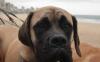 Cães farejadores ainda são os melhores detectores de explosivos
