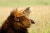 Leões da África estão à beira da extinção, alerta ONG