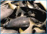 Encomenda Programa de Manejo Pesqueiro da Duke Energy