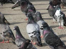 Encomenda Deslojamento de pombos