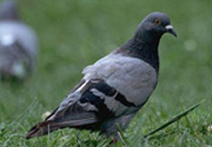 Encomenda Controle de aves