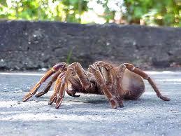 Encomenda Controle de aranhas