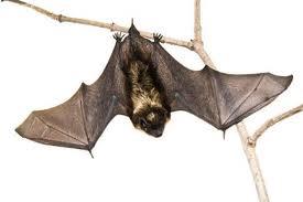 Encomenda Controle morcegos