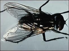 Encomenda Covbate a moscas
