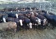 Criação  das raças bovinas Hereford e Braford