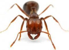 Formigas.Desinsetizacao.