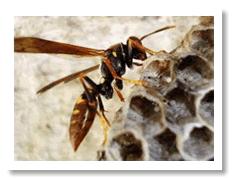 Combate a vespas.